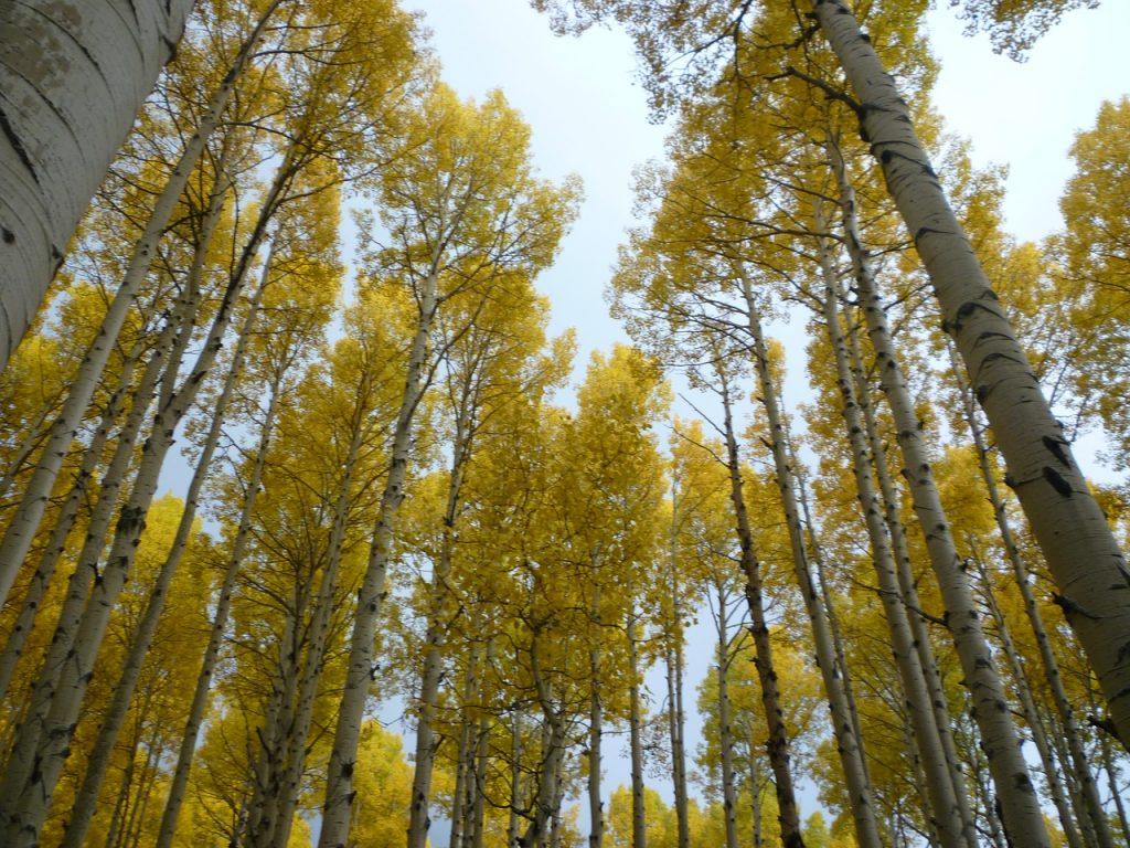 Aspen Clonal Forest
