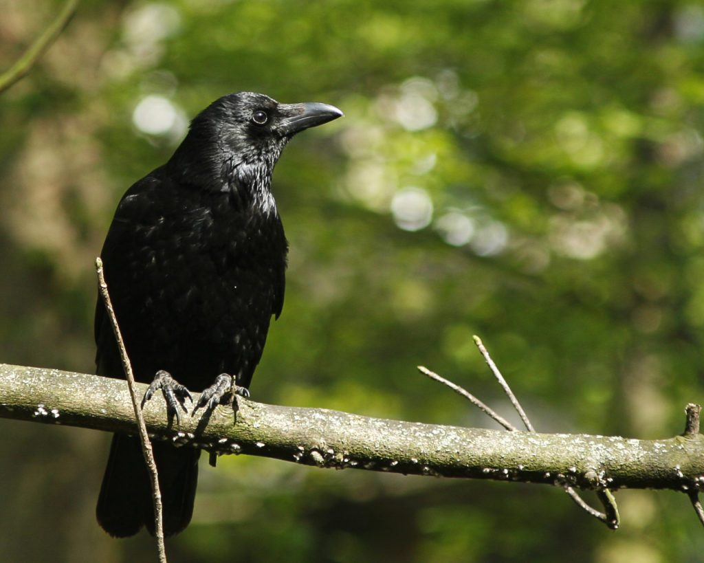 crows are smarter than children
