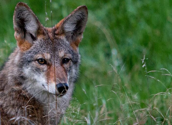 Do Coyotes Eat Cats & Other Common Coyote Questions